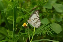 Witte en zwarte gestripte vlinder op groen blad stock foto
