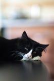 Witte en zwarte katten, het mooie kat rusten Royalty-vrije Stock Afbeelding