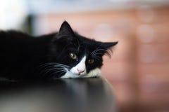 Witte en zwarte katten, het mooie kat rusten Stock Afbeeldingen