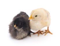 Witte en zwarte kippen Stock Afbeelding