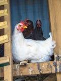 Witte en zwarte kippen in kippenren Royalty-vrije Stock Foto