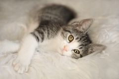 Witte en Zwarte Kitten With Big Eyes Stock Foto's