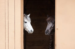 Witte en zwarte paarden Stock Afbeeldingen