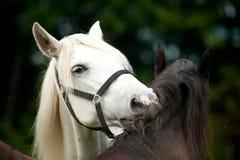Witte en zwarte paarden Stock Foto's