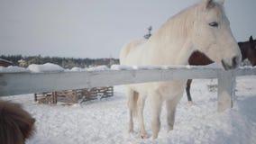 Witte en zwarte paarden en een kleine poney die op een boerderij in openlucht in de winter lopen Concept het paardfokken stock video