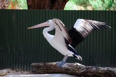 Witte en zwarte pelikaan Stock Foto's