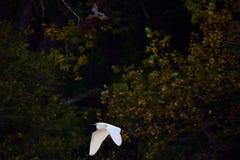 Witte en zwarte vogels die in bos vliegen stock afbeelding