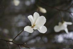Witte enige bloem van magnolia. Royalty-vrije Stock Foto's