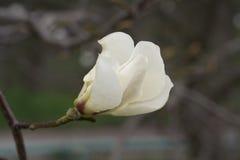 Witte enige bloem van magnolia. Royalty-vrije Stock Afbeeldingen