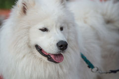 Witte Eskimohond Stock Foto