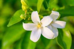 Witte exotica bloem-Murraya Royalty-vrije Stock Foto