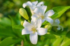 Witte exotica bloem-Murraya Royalty-vrije Stock Afbeeldingen