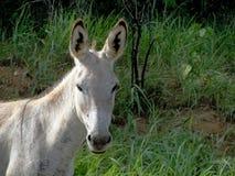Witte ezel stock afbeelding