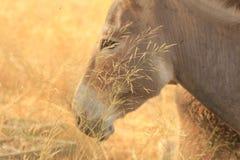Witte ezel in de Vlakte van Israël Sharon Stock Fotografie