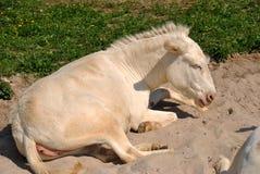 Witte ezel die op een stuk van zand liggen royalty-vrije stock foto's
