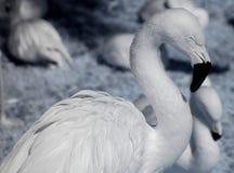 Witte Flamingo Royalty-vrije Stock Afbeelding