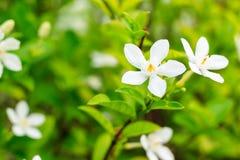 Witte flora Royalty-vrije Stock Afbeeldingen
