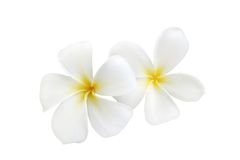 Witte frangipani Stock Afbeelding