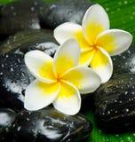 Witte frangipani Stock Foto