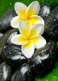 Witte frangipani Stock Fotografie