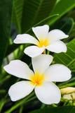 Witte frangipani. Stock Fotografie