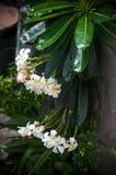 Witte frangipani stock afbeelding