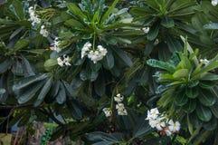 Witte frangipani stock foto's
