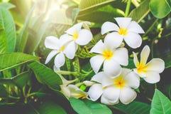 Witte Frangipani in de tuin Royalty-vrije Stock Afbeelding