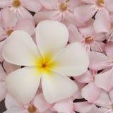 Witte frangipani en roze oleander Stock Foto's