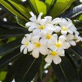 Witte frangipanibloemen Stock Foto