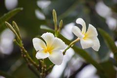 Witte frangipanibloemen op de boom Royalty-vrije Stock Foto's