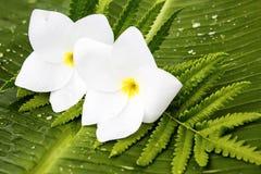 Witte frangipanibloemen op een van de banaanblad en varen bladeren stock foto's