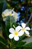 Witte frangipanis op een boom Stock Foto's