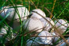 Witte freckled paddestoelen in gras stock afbeelding