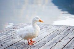 Witte gans stock afbeeldingen