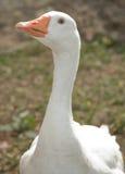 Witte gans stock afbeelding
