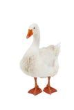 Witte gans Stock Foto's