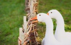 Witte gans die een omheining bijten Royalty-vrije Stock Foto