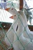 Witte gans drie in een kooi Royalty-vrije Stock Foto