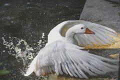 witte gans in een nevel van water Royalty-vrije Stock Afbeelding