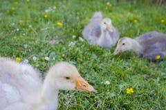 Witte gans; gansje; Anser anser domesticus, stock afbeelding