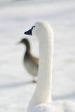 Witte gans in het park stock foto's