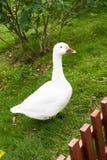 Witte gans op groen gras Royalty-vrije Stock Afbeelding