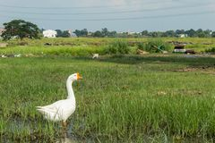 Witte gans op het gras in het water royalty-vrije stock afbeeldingen
