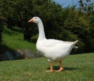 Witte gans in tuin Royalty-vrije Stock Foto
