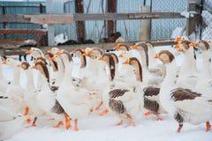 Witte ganzen in de sneeuw Stock Foto