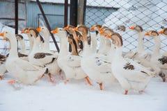 Witte ganzen in de sneeuw Stock Afbeeldingen