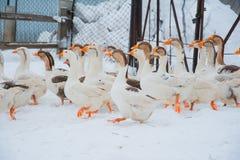 Witte ganzen in de sneeuw Stock Fotografie