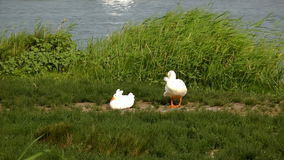 Witte ganzen dichtbij een vijver stock videobeelden