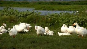 Witte ganzen dichtbij een vijver stock video